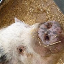 Rodney the pig