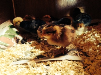 More new chicks hatched today!