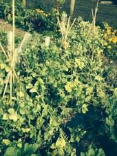 spot the purple peas